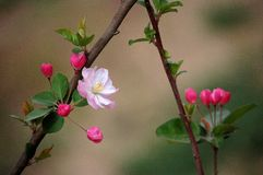 Crabapple flowers. Booming in spring stock photo