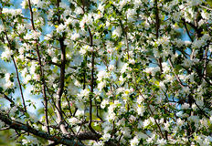 Crabapple Flowers In Spring with a soft focus Royalty Free Stock Images