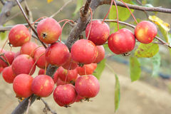 Crabapple fruits. The close-up of red crabapple fruits on branch. Scientific name: Malus spectabilis Stock Images