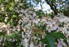 crabapple kwitnie drzewa zdjęcie stock