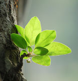 Crabapple leaves in spring. The new crabapple leaves in spring showed fresh green color Royalty Free Stock Photography