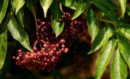 Crabapple liście i jagody Zdjęcie Royalty Free