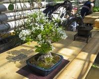 Crabapple miniature - bonsaï dans le style de Photographie stock