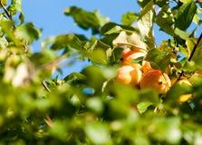 Crabapple och löst äpple royaltyfria bilder