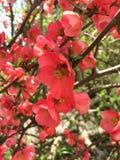 Crabapple si ramifica in primavera Fotografia Stock