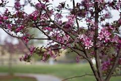 Crabapple träd Arkivfoto