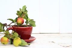 Crabapple trädfilial med mogna äpplen Royaltyfri Fotografi
