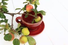 Crabapple trädfilial med mogna äpplen Royaltyfri Foto