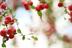Crabapple trädfilial med mogna äpplen Arkivfoto