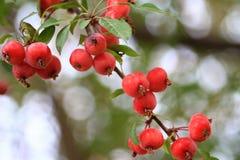 Crabapple trädfilial med mogna äpplen Royaltyfria Foton
