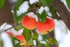Crabapple trädfilial med mogna äpplen som täckas med snö Royaltyfria Foton