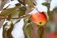 Crabapple trädfilial med mogna äpplen som täckas med snö Royaltyfri Fotografi