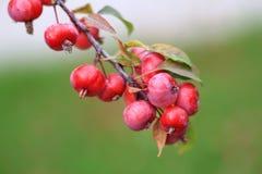 Crabapple trädfilial med mogna röda äpplen Royaltyfri Foto