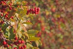Crabapple tree background border Stock Photography