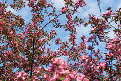 Crabapple tree in bloom Royalty Free Stock Photography