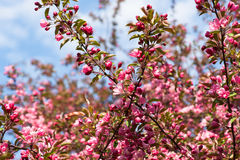 Crabapple tree in bloom Royalty Free Stock Image