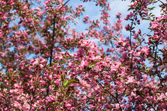 Crabapple tree in bloom Royalty Free Stock Photos