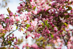 Crabapple tree in bloom Royalty Free Stock Images