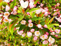 Crabapple tree in bloom Stock Image