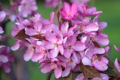 Crabapple Tree in Bloom Stock Images