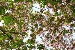 Crabapple tree Stock Photo