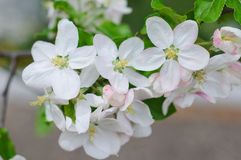 Crabapple tree blossoms stock photography