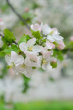 Crabapple tree blossoms Stock Images