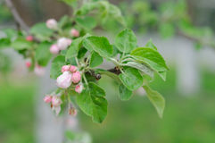 Crabapple tree blossoms Stock Photo