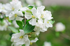 Crabapple tree blossoms Royalty Free Stock Image