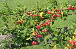 Crabapple tree branch Royalty Free Stock Image
