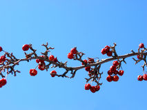 Crabapple tree branch Stock Photo