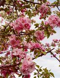 Crabapple tree royalty free stock photography