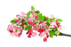 Crabapple Tree Flowers Blooming in Spring Isolated Stock Image