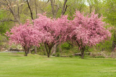 Crabapple Trees Stock Image