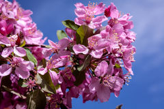 Crabapple Trees Blooming Stock Images