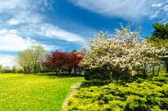 Crabapple trees in full bloom. Royalty Free Stock Photography
