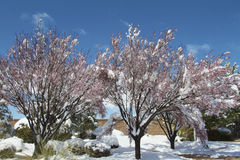 Crabapple Trees and Snow Royalty Free Stock Photo