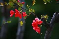 Begonia flower. Crabapple: trees, up to 8 m tall; branchlets stout, cylindrical, pubescent at young age, gradually shedding, old red brown or purple brown Royalty Free Stock Photos