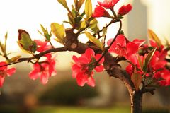 Begonia flower. Crabapple: trees, up to 8 m tall; branchlets stout, cylindrical, pubescent at young age, gradually shedding, old red brown or purple brown Royalty Free Stock Image
