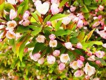 Crabappleboom in bloei Stock Afbeelding
