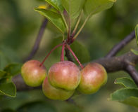 Crabapples Royalty Free Stock Photos