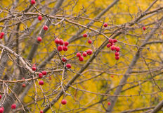 Crabapples Stock Photography