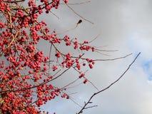 Crabapples Стоковые Фото