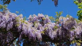 Crabapples-Blüten-Glyzinie mit jungen Blättern Lizenzfreie Stockfotografie