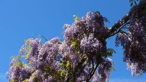 Crabapples-Blüten-Glyzinie während des Frühjahres Lizenzfreie Stockfotografie