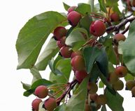 Crabapples on Branch. Ripe crabapples on a tree branch royalty free stock image
