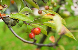 Crabapples on a branch Royalty Free Stock Image
