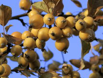 Crabapples on branch (sunset) Royalty Free Stock Photography
