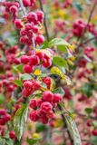 Crabapples Royalty Free Stock Photo