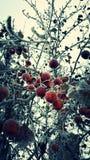 Crabapples congelados Fotografía de archivo libre de regalías
